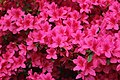 Rhododendron (42042584091).jpg