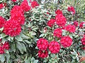 Rhododendron Neuilly.jpg
