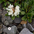 Rhododendron aureum 05.jpg