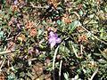 Rhododendron impeditum 01.JPG