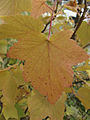 Ribes americanum, autumn leaves 1.jpg