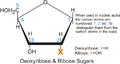 Ribose deoxyribose.png
