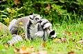 Ring-Tailed Lemur (15508339880).jpg