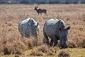 Rinocerontes blancos (Ceratotherium simum), Santuario de Rinocerontes Khama, Botsuana, 2018-08-02, DD 04.jpg