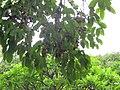 Ripe Jamun Fruits.JPG