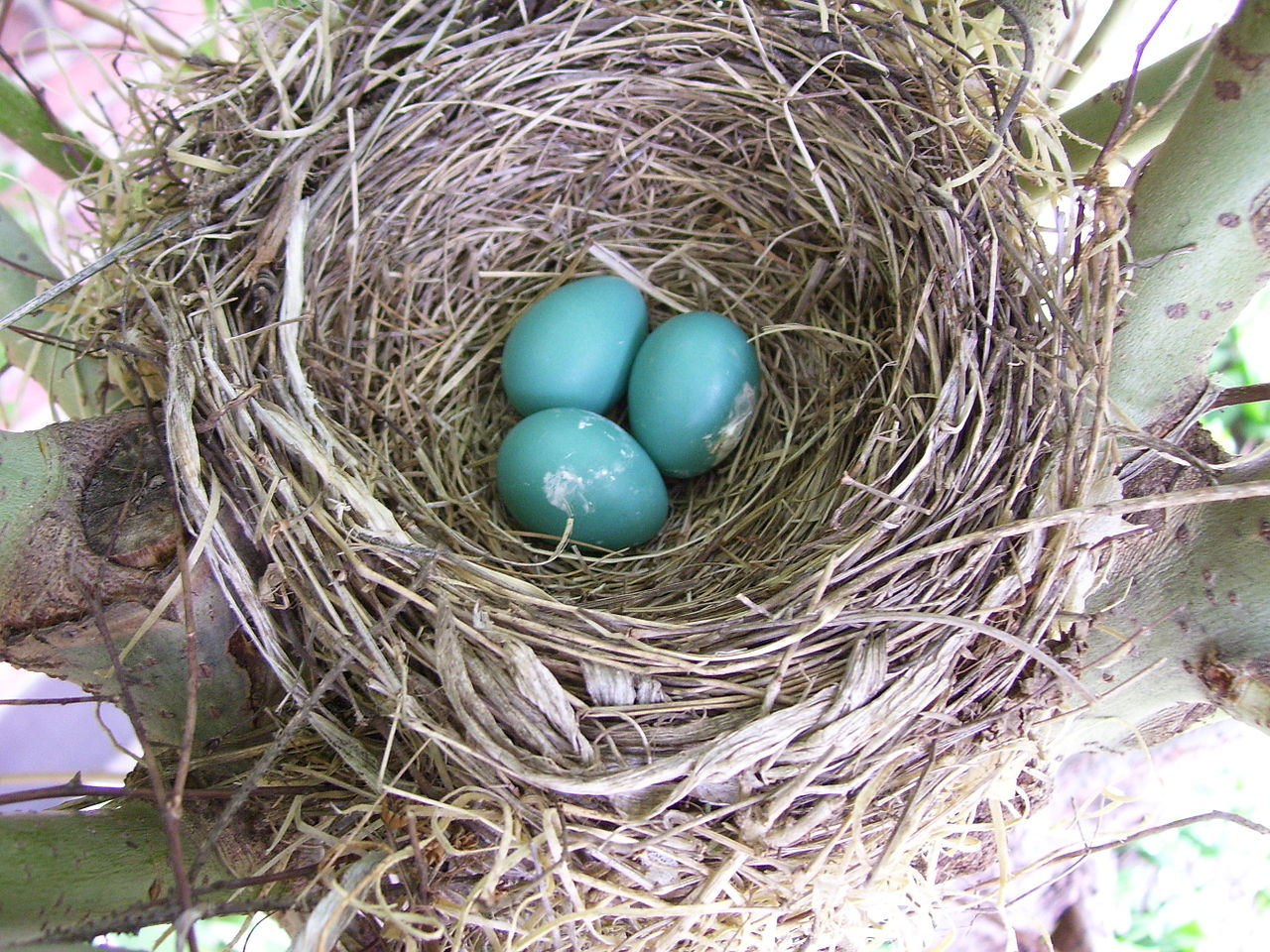 Robins Egg Blue Shoe Laces