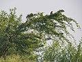 Roosting Eurasian Sparrowhawk (23349815320).jpg