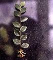 Rooted cutting of Ulmus parvifolia 'Nana Variegata'.jpg