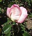 Rosa-secret.jpg