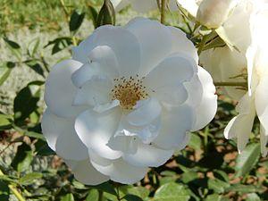 RosaFeedesneiges GDASidiAmor01.jpg