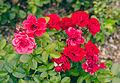 Rosa 'Chica Veranda'.jpg