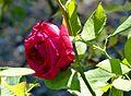 Rosa 'Konrad Adenauer' 02.jpg