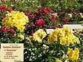 "Rosa ""Golden Holstein"" o KORtikel. 03.jpg"