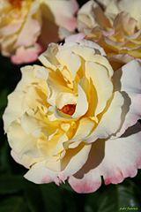 Rosa Aquarel Alemania 2010 (11982332385).jpg