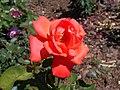 Rosa Lady Rose 2018-07-10 5407.jpg