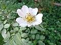 Rosa corymbifera 01.JPG