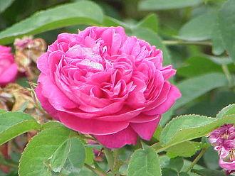 Rosa × damascena - Image: Rosa damascena 5