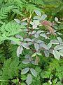 Rosa glauca and Myrrhis odorata (9008573381).jpg