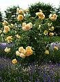 Rosarium Baden Rosa 'Graham Thomas' Austin 1983 03.jpg