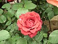Rose from Lalbagh flower show Aug 2013 8539.JPG