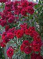 Roses- Flowers.jpg