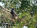 Rostramus sociabilis (Caracolero lagunero) - Flickr - Alejandro Bayer.jpg