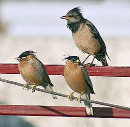 Rosy Starling with Brahminy Starling I3m IMG 9806.jpg