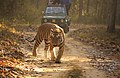 Royal Bengal Tiger Kanha.JPG