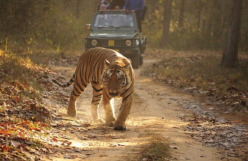 Datei:Royal Bengal Tiger Kanha.JPG