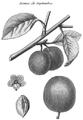 Rozier - Cours d'agriculture, tome 8, pl. 29, damas de septembre.png