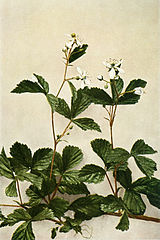 Rubus flagellaris WFNY-093B.jpg