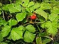 Rubus vernus 3.JPG