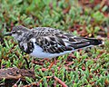 Ruddy Turnstone (4885193832).jpg