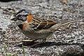 Rufous-collared Sparrow (26341990447).jpg