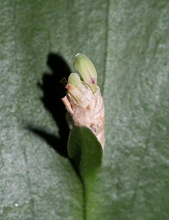 Ruscus hypoglossum - Close-up of true leaf and flower on the phylloclade