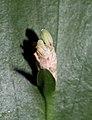 Ruscus hypoglossum at BBG (50878).jpg