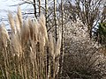 Rushes and Cherry Blossoms - Along Cedar Hill Road - Victoria - BC - Canada (8571000400).jpg