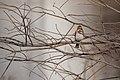 Rustic bunting (Emberiza rustica) (32317033461).jpg