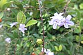 SZ 深圳 Shenzhen 南山區 Nanshan 蛇口體育中心 Shekou Sports Center Sept 2017 IX1 white flowers 32.jpg