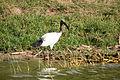 Sacred ibis - Queen Elizabeth National Park, Uganda(2).jpg