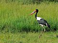 Saddle-billed Stork (Ephippiorhynchus senegalensis) male (7083175791).jpg
