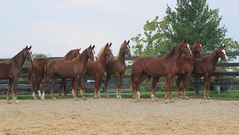 File:Saddlebred Yearlings At Willowbank Farm In Simpsonville, kY (8082425397).jpg