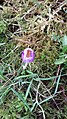 Saffron - Crocus vernus 06.jpg