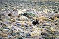 Sage-grouse (15139419004).jpg