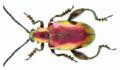 Sagra femorata (Drury, 1773) (13873135054).png
