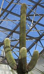 Saguaro (Carnegiea gigantea), Conservatorio botánico, Fort Wayne, Indiana, Estados Unidos, 2012-11-12, DD 01.jpg