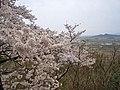 Sakura , 桜 - panoramio.jpg