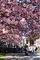 Sakura @ University of Washington, Seattle (7055907143).jpg