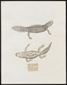 Salamandra americana - 1700-1880 - Print - Iconographia Zoologica - Special Collections University of Amsterdam - UBA01 IZ11400135.tif