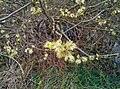 Salix caprea (13784255294).jpg